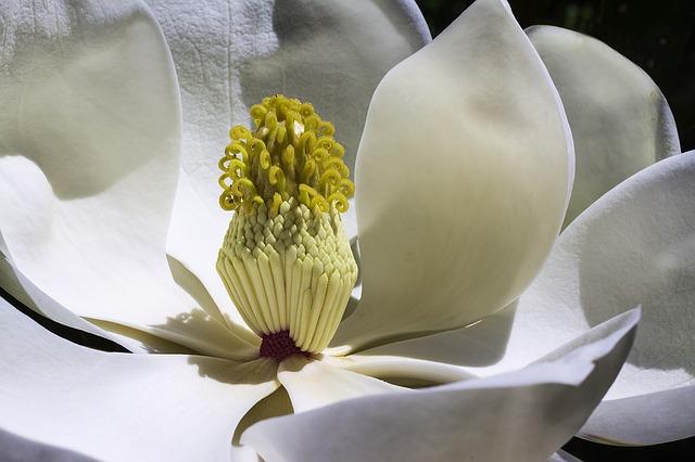 magnolia-1077384_640