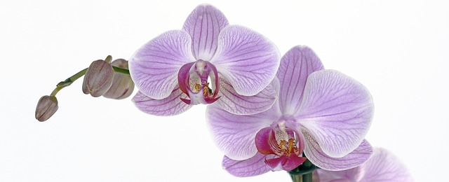 orchid-1291673_640